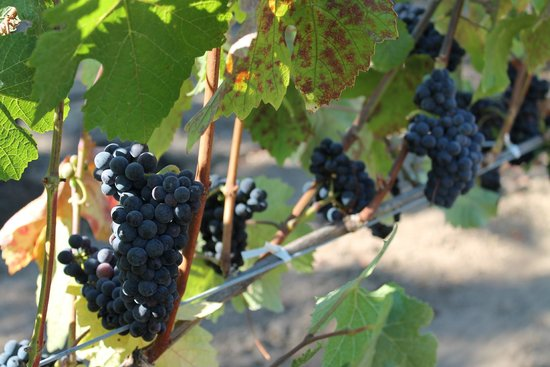 Robert Hunter Winery: Pinot Noir grapes at Robert Hunter, August 2012