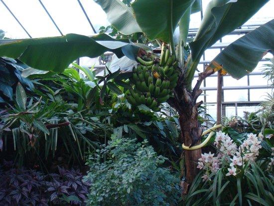 Palmengarten und Botanischer Garten: Banano - interno serra