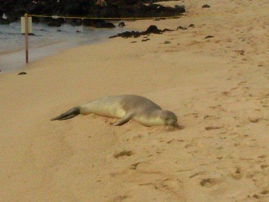 Poipu Beach Park: monk seal relaxing on the beach