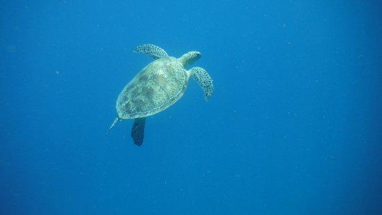 Lahami Bay Resort : tartaruga