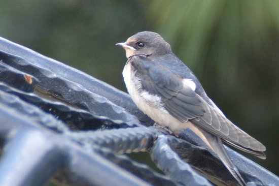 Bella View Art Boutique Hotel : Resident swallow fledgling