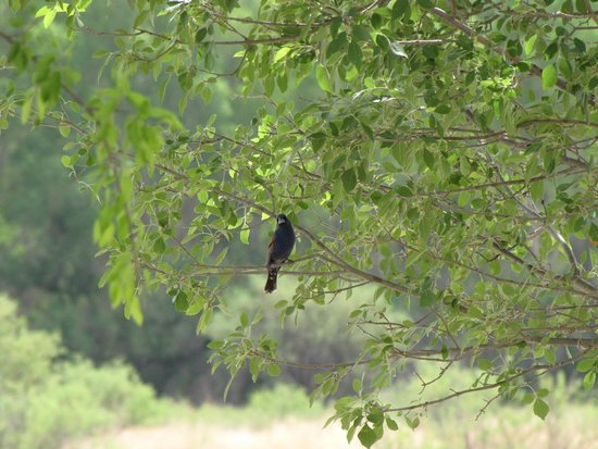 San Pedro Riparian National Conservation Area : blue grosbeak
