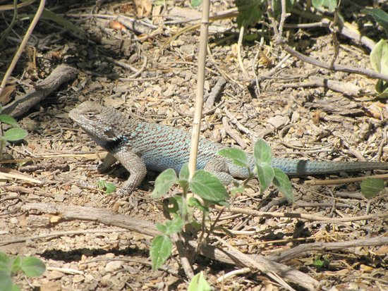 San Pedro Riparian National Conservation Area : cool !  a blue desert lizard