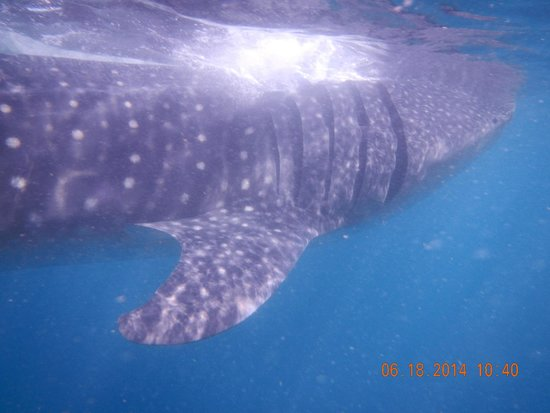 Holbox Whale Shark Tours: Up close and personal
