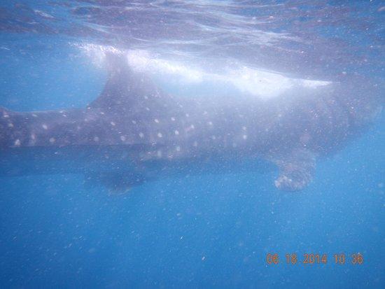 Holbox Whale Shark Tours: Big Sharks