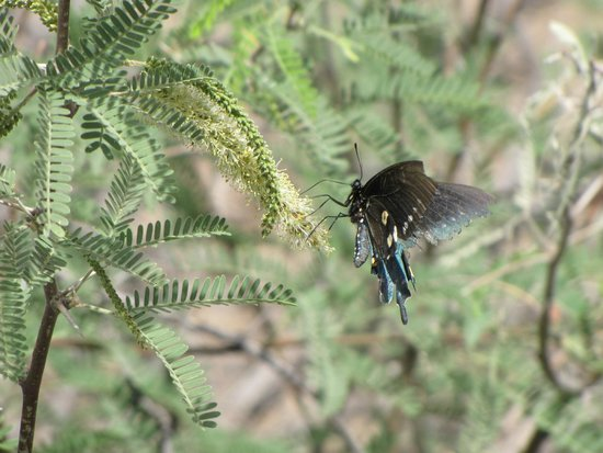 San Pedro Riparian National Conservation Area: blue butterfly