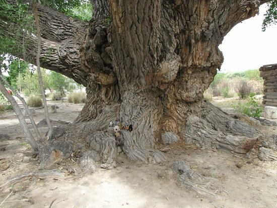 San Pedro Riparian National Conservation Area: huge cottonwood tree
