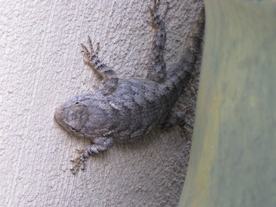 San Pedro Riparian National Conservation Area: horned lizard !!