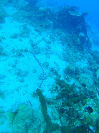 Tasik Ria Resort Manado: Schöne Seeschlangen