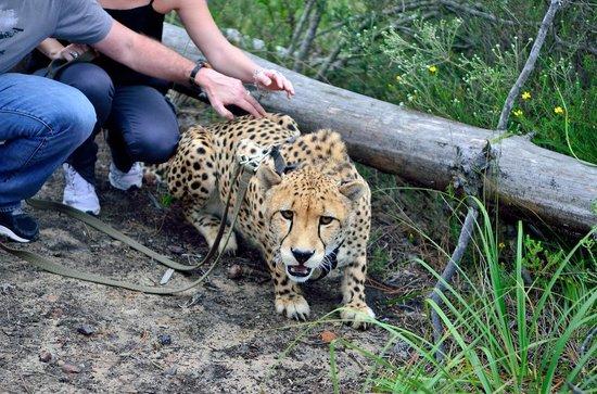 Tenikwa Wildlife Awareness Centre: Douma, notre guépard mâle