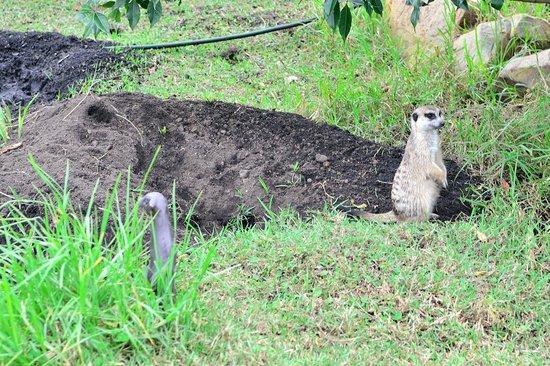 Tenikwa Wildlife Awareness Centre: Suricate