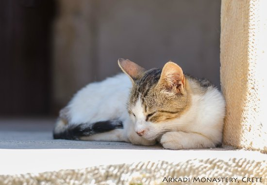 Sacred Monastery of Arkadi: Monastery cat