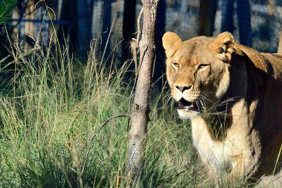 Jukani Wildlife Sanctuary : Lionne