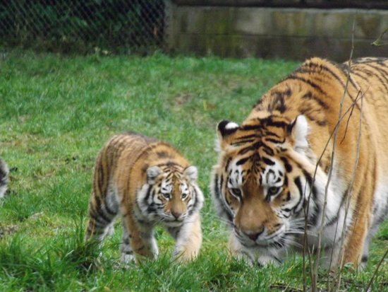 Banham, UK: Mum Sveta with one of her Cubs.
