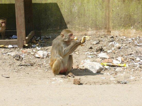 Mount Popa : Freche Affen unterwegs!