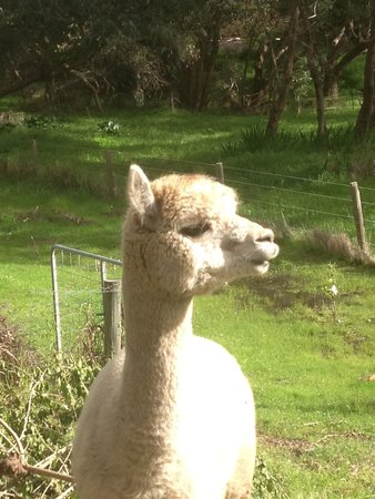 Chapel Farm Getaways: Lama in the back garden of the Love Shack