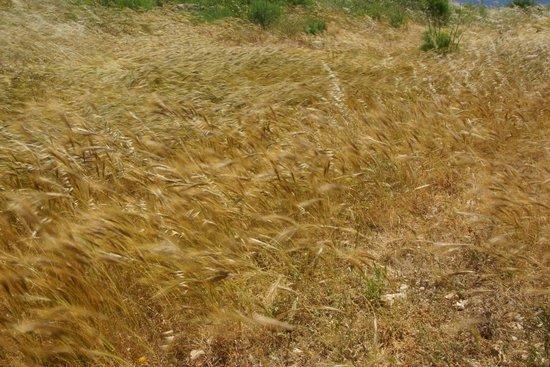 Ħaġar Qim falujace trawy