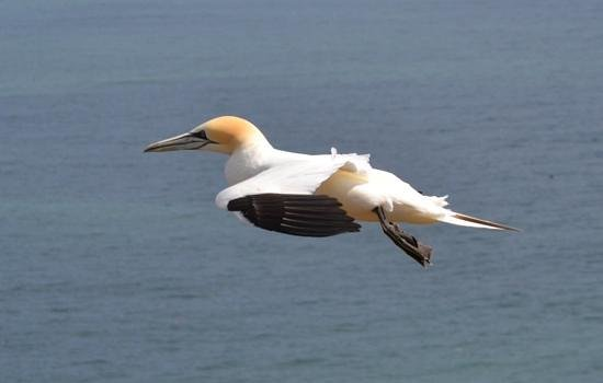 RSPB Bempton Cliffs: a gannet at Bempton Cliffs RSPB