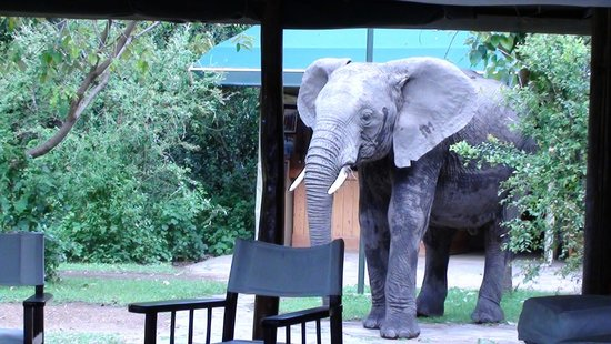 Little Governors' Camp: One of the elephants visiting the dining area...