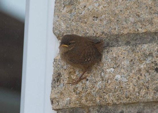 Baby Wren trying out flying at Fairways Bed and Breakfast B&B in Crewkerne in Somerset