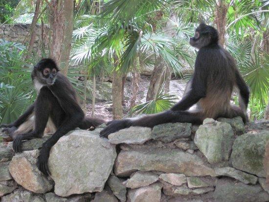 Sandos Caracol Eco Resort : Spider monkies