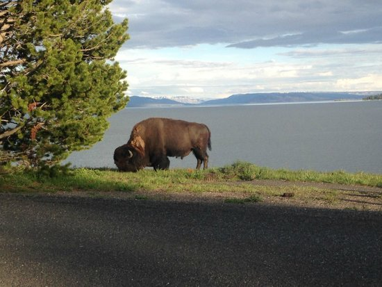 Lake Yellowstone Hotel and Cabins : Bison at Lake  Yellowstone's Hotel's lawn