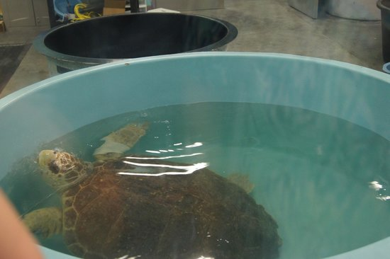 The Karen Beasley Sea Turtle Rescue and Rehabilitation Center : Turtle at hospital