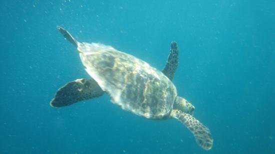 Fihalhohi Island Resort : гиганская черепаха