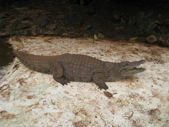 Nairobi Mamba Village : This crocodile