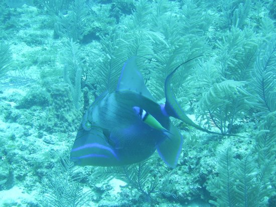 Laughing Bird Caye National Park: Queen Triggerfish