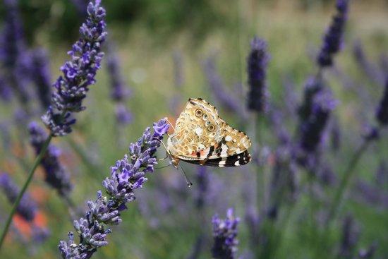 Podere Papilio: lavanda e farfalle