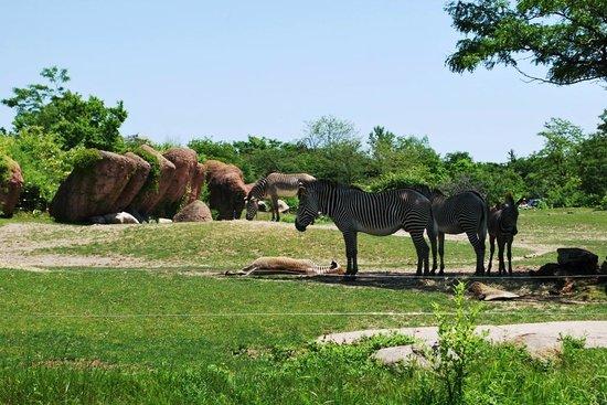 Toronto Zoo: Zebra family
