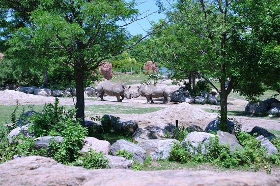 Toronto Zoo: Beautiful rhinos