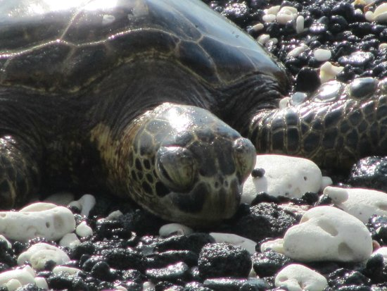 Fairmont Orchid, Hawaii: Sea turtle relaxing on protected beach