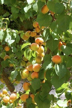 Avithos Resort: Peaches!