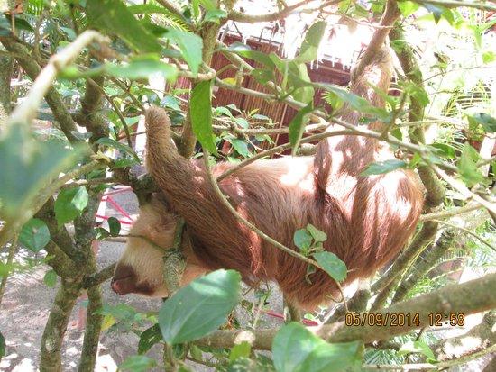Fundación Jaguar Rescue Center: sloths