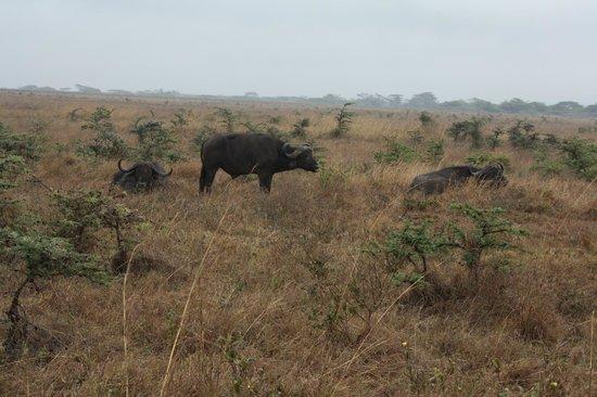 Parc national de Nairobi : African Buffalo