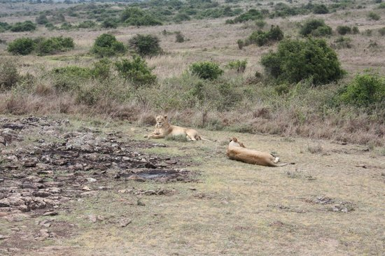 Parc national de Nairobi : The Lions