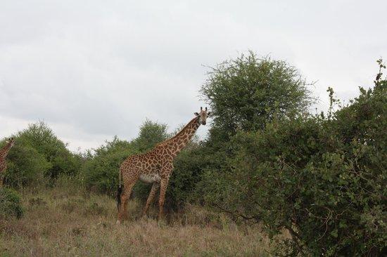 Parc national de Nairobi : Giraffe