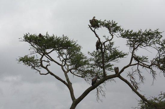 Parc national de Nairobi : Vultures