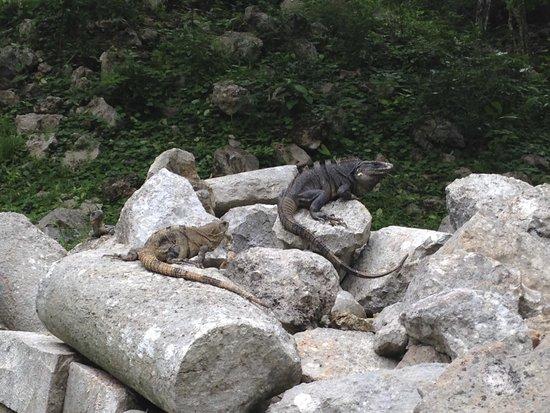 Temples d'Uxmal : Iguanas