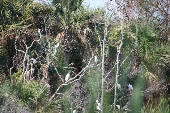 Snowy Egrets Roosting In Trees Picture Of Bulls Island