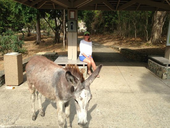 Caneel Bay Resort: Donkey socializing with guests