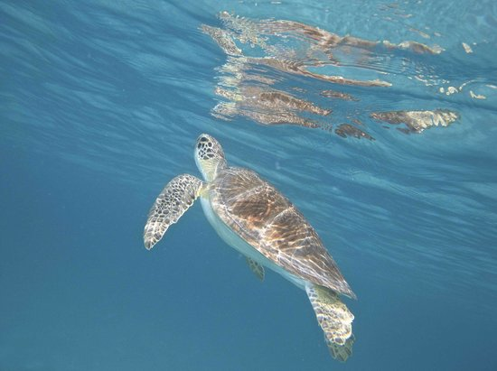 Caneel Bay Resort: green turtle surfacing for air