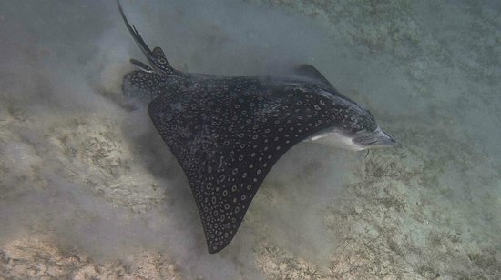 Caneel Bay Resort: Spotted Eagle ray