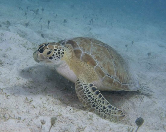 Caneel Bay Resort: Green turtle looking for lunch