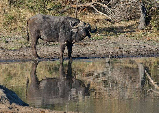 Vuyatela Lodge & Galago Camp: Buffalo at the water