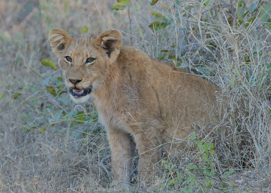 Vuyatela Lodge & Galago Camp: Lion cub