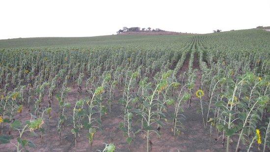 Sotillo de la Ribera, Espanha: Campo de girasoles y la ermita al fondo