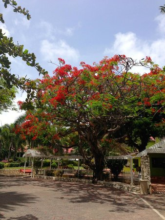 "Pineapple Beach Club Antigua: ""flamboyant"" trees grow everywhere"